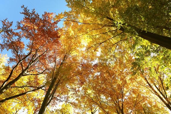 Autumn beech trees Stock photo © nature78