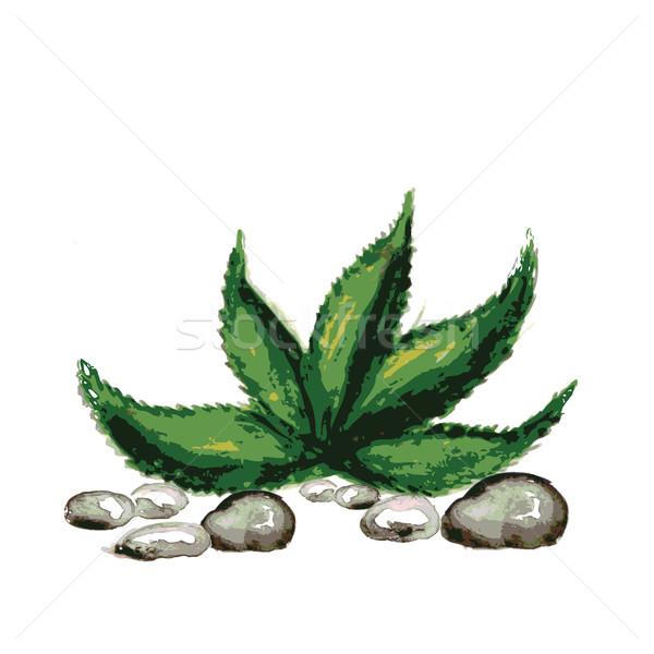 Aquarela pedras aloés folhas branco vetor Foto stock © naum