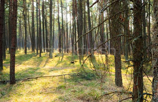 Pine forest Stock photo © naumoid