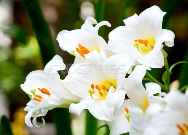 White lilies Stock photo © naumoid