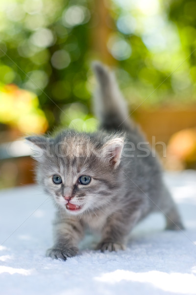 Walking kitten Stock photo © naumoid