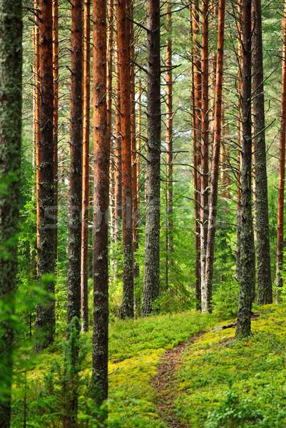 Fairy pinewood Stock photo © naumoid