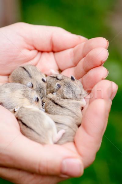 Hamster bebek aile el palmiye Stok fotoğraf © naumoid