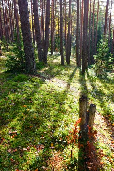 Sunny forest Stock photo © naumoid