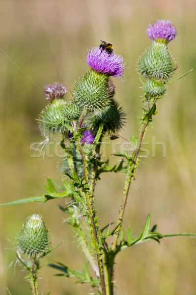 Stock photo: Bee on a thistle