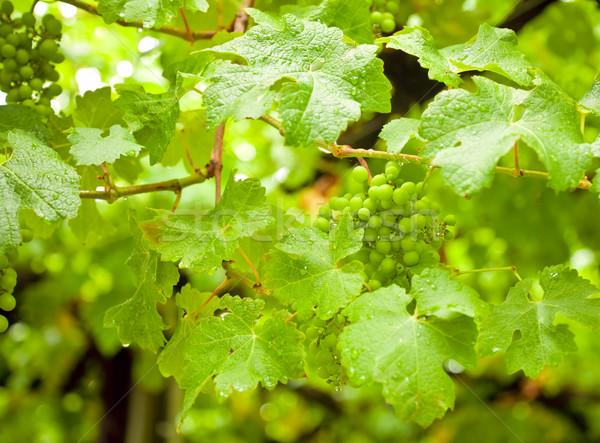 Vineyard Stock photo © naumoid