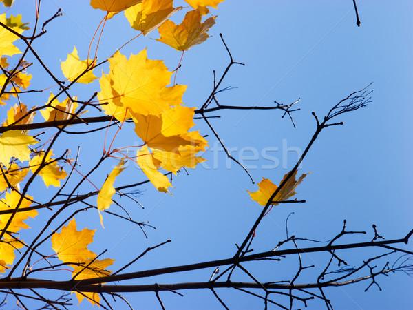 Ultimo foglie acero albero cielo blu Foto d'archivio © naumoid