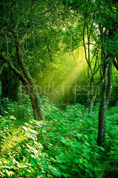 午前 太陽 霧の 熱帯雨林 日光 日光 ストックフォト © naumoid