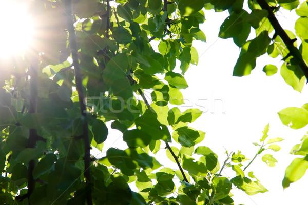 Nap ragyogó égbolt természet levél nyár Stock fotó © naumoid