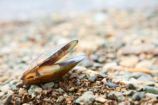 Greenshell mussel on a beach Stock photo © naumoid