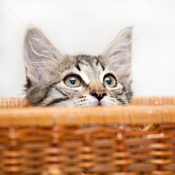 Kitten in ambush Stock photo © naumoid