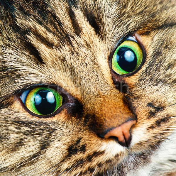 Siberian cat Stock photo © naumoid