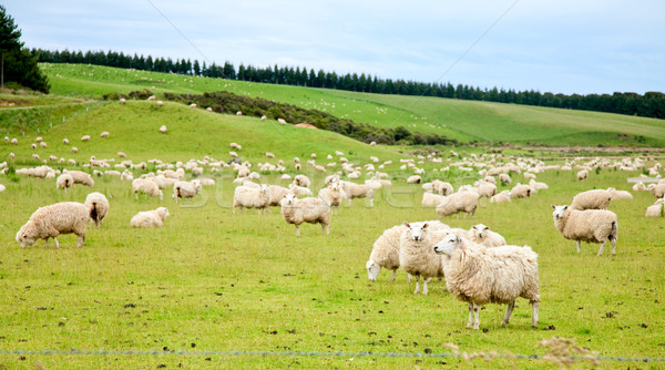 Sheeps Stock photo © naumoid