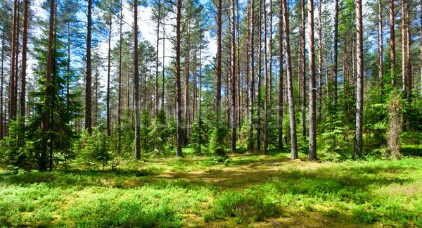 Summer forest Stock photo © naumoid