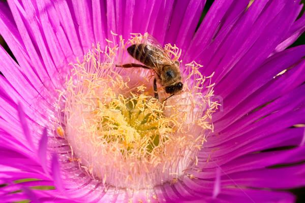 Bee on flower Stock photo © naumoid