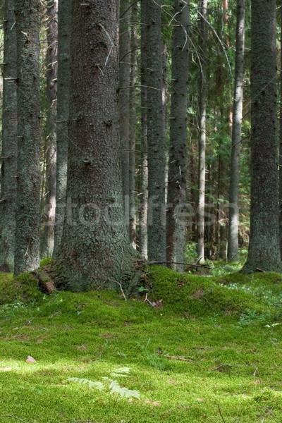 Mystery forest Stock photo © naumoid
