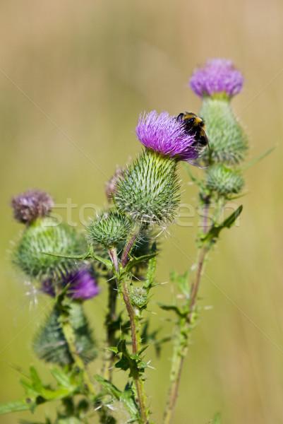 Bee on a thistle Stock photo © naumoid