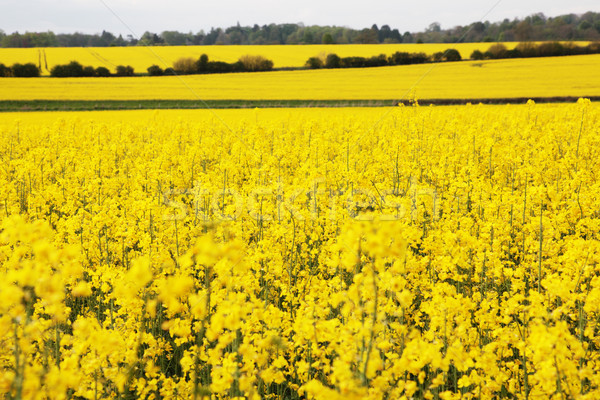 Vergewaltigung Saatgut Felder gelb Stock foto © ndjohnston