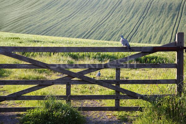 голубь сидят ворот полях другой Сток-фото © ndjohnston