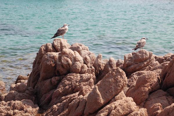 молодые Чайки пород сидят морем Сток-фото © ndjohnston