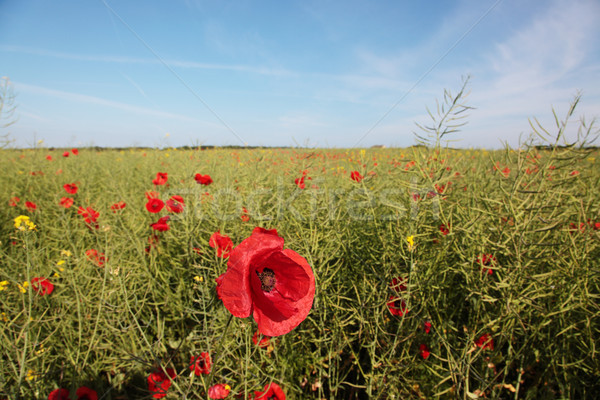 Wild poppies in a field of rape seed Stock photo © ndjohnston