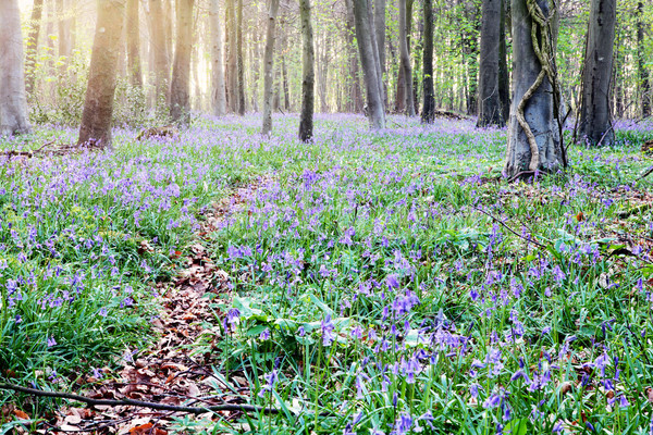 Bluebell forest at dawn Stock photo © ndjohnston