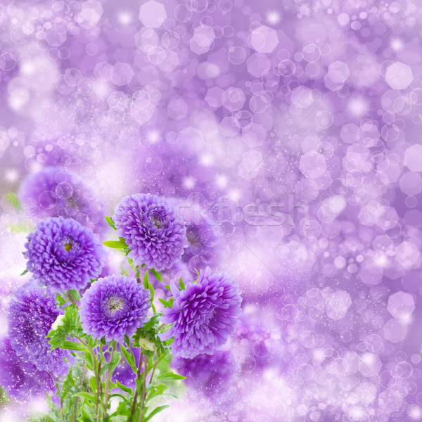 violet  aster flowers on bokeh background Stock photo © neirfy