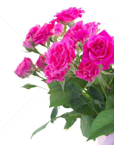 Bush rose roses isolé blanche beauté Photo stock © neirfy