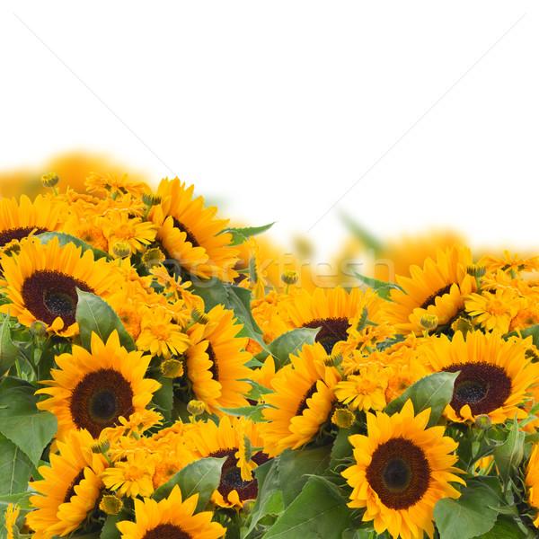 Zdjęcia stock: Słoneczniki · kwiaty · granicy · jasne · odizolowany · biały