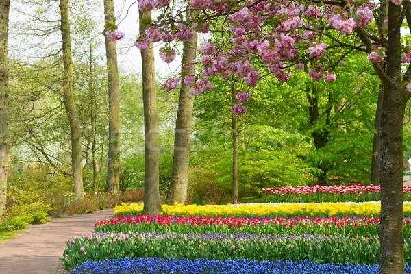 весенние цветы Голландии парка красочный весны Вишневое Сток-фото © neirfy