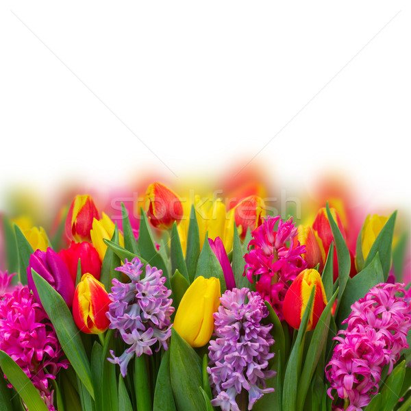 Lale pembe mor taze çiçekler sınır Stok fotoğraf © neirfy