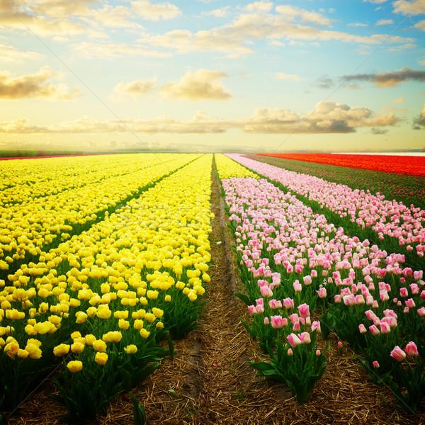 голландский красный Tulip полях желтый области Сток-фото © neirfy