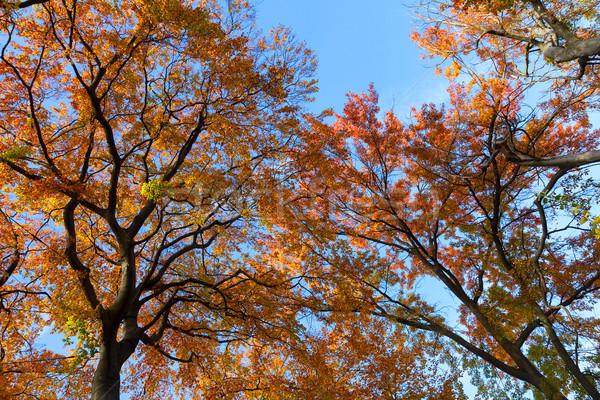 Vibrante caída follaje naranja árbol cielo azul Foto stock © neirfy