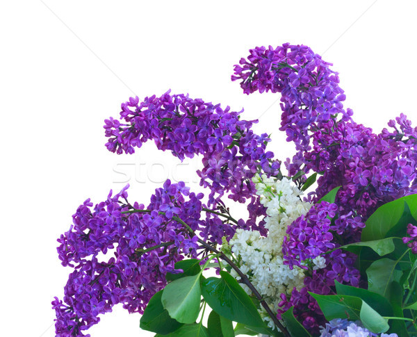 Lilac fresh flowers Stock photo © neirfy