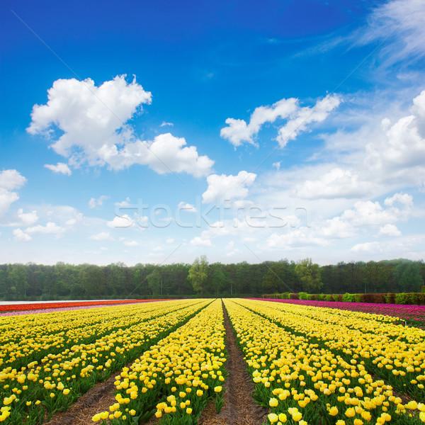 オランダ語 黄色 バイオレット チューリップ フィールド ストックフォト © neirfy