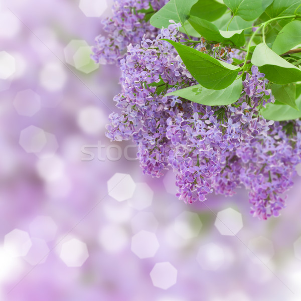 Stock photo: Lilac flowers tree