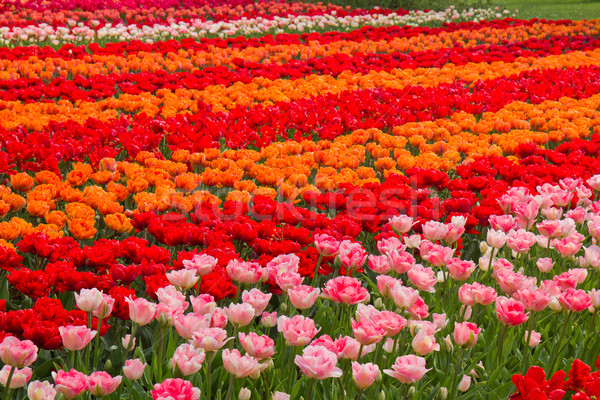 Holland Tulpen Bereich rot rosa orange Stock foto © neirfy