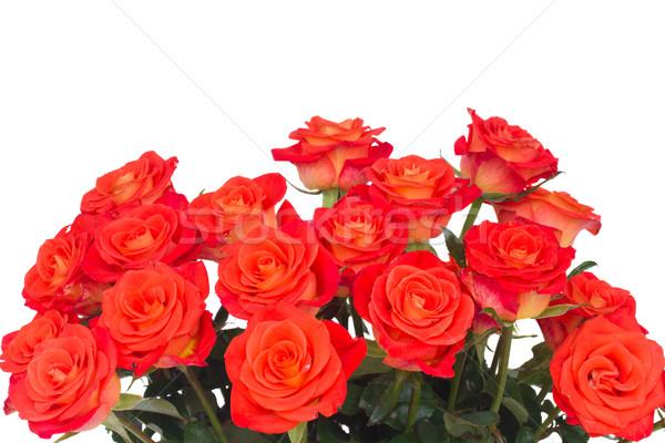 ярко оранжевый роз изолированный белый свадьба Сток-фото © neirfy