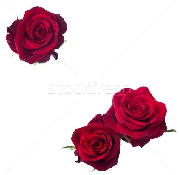 three dark  red rose Stock photo © neirfy
