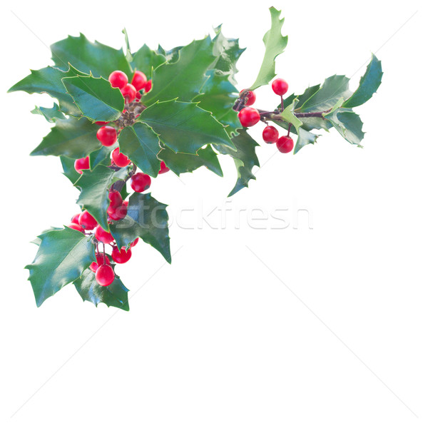 Holly branch boder Stock photo © neirfy