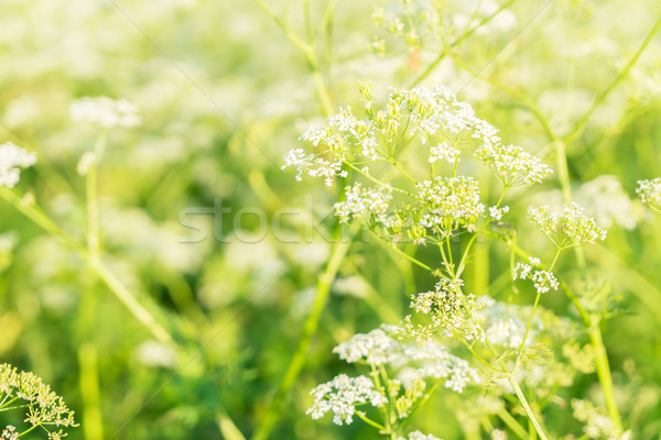 field of yarrow flowers Stock photo © neirfy