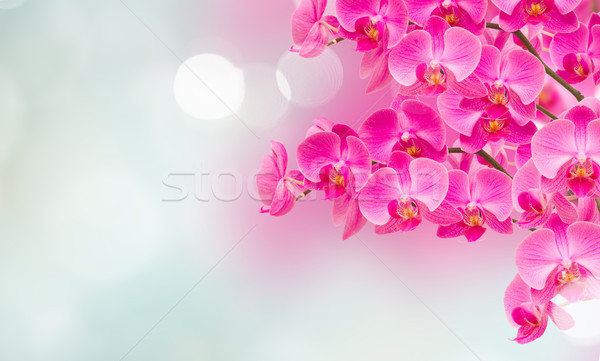 pink orchid branches Stock photo © neirfy
