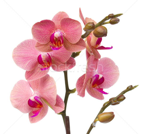 red orchid flowers close up Stock photo © neirfy
