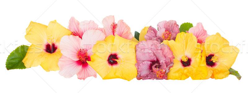 границе красочный гибискуса цветы изолированный белый Сток-фото © neirfy