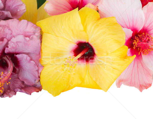 border of colorful hibiscus flowers Stock photo © neirfy