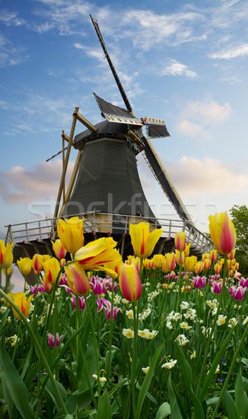 one dutch windmill over  tulips Stock photo © neirfy
