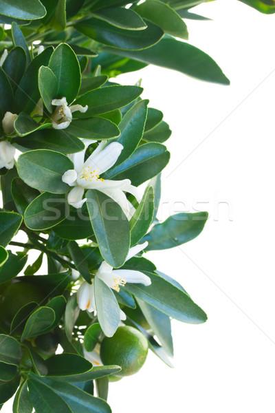 Mandalina ağaç çiçekler yalıtılmış beyaz Stok fotoğraf © neirfy