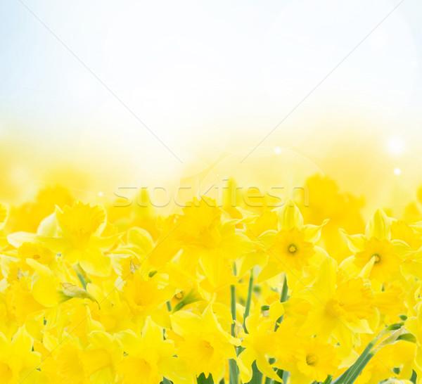 spring narcissus garden Stock photo © neirfy