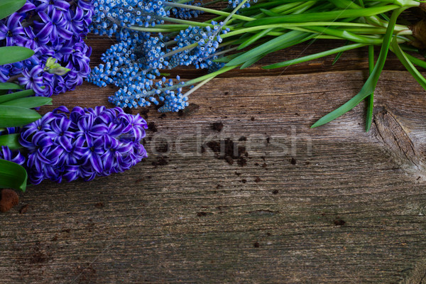 Foto stock: Jacinto · pá · azul · fresco · flores · terra