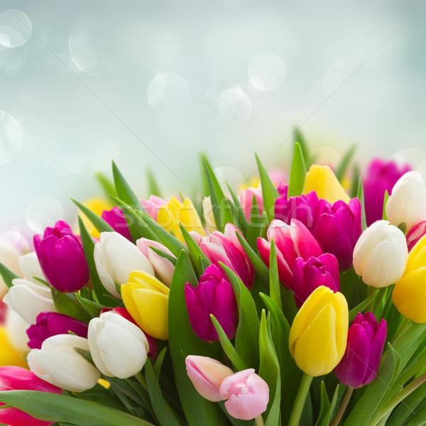 Bukiet różowy fioletowy biały tulipany świeże Zdjęcia stock © neirfy